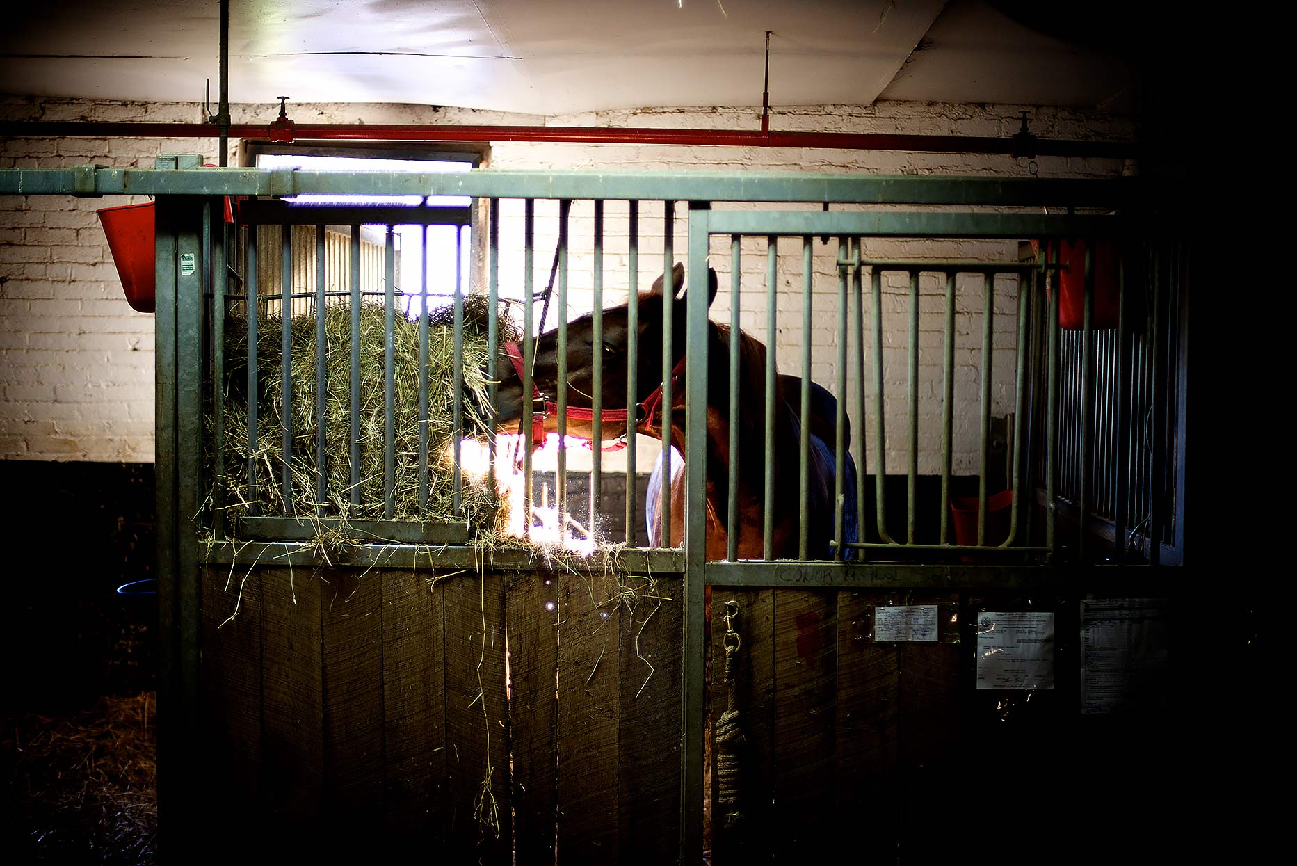 Carriage horse eating hay in his stall in NYC